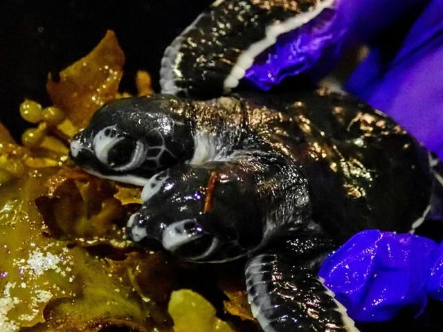 Une tortue à deux têtes voit le jour en Malaisie