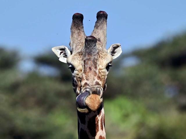 Les girafes menacées d'«extinction silencieuse»