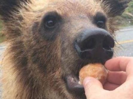 Une amende de 2000$ pour avoir nourri un ours avec un Timbit