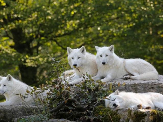 Le gouvernement autorise l'abattage de 40 loups pour la période 2017-2018