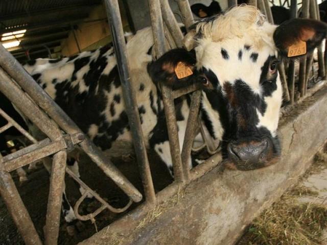 La Sicalait jugée responsable de la leucose bovine