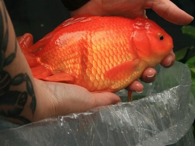 Des poissons rouges géants envahissent les lacs américains