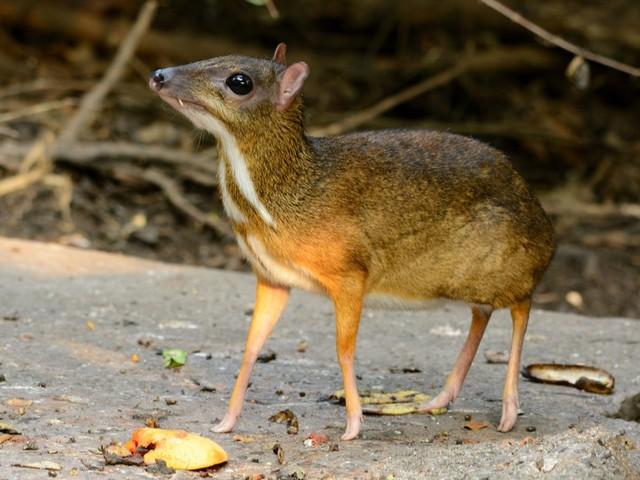 On pensait l'espèce éteinte : un cerf-souris aperçu pour la première fois depuis près de 30 ans