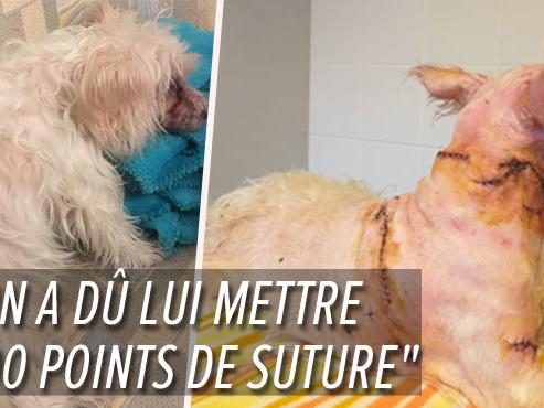 """Son papa et son chien Mignonette attaqués en pleine rue par deux American Staff à Huy: """"Je me demande comment elle est toujours en vie"""""""