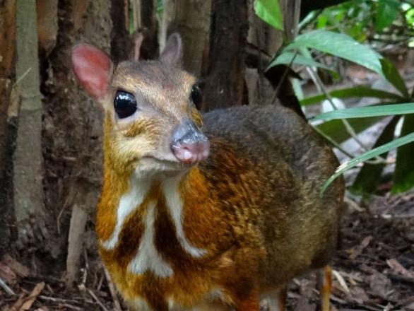 Un mammifère considéré comme disparu à jamais retrouvé au Vietnam – vidéo