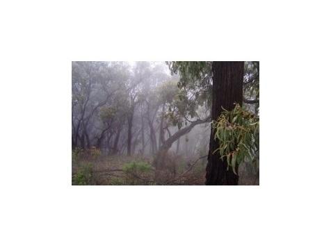 Méga-feux : la loi de l'eucalyptus