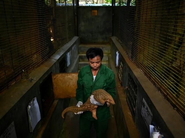Le Vietnam durcit la lutte contre le trafic de pangolins