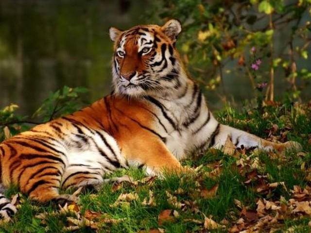 Tigre en fuite abattu à Paris: a-t-on saboté la cage du fauve?
