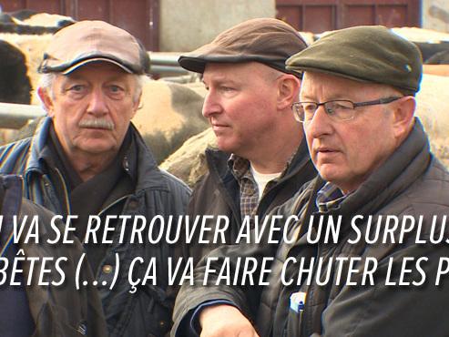 """Le retour de la LANGUE BLEUE en Belgique limite les exportations de bovins: """"On perd beaucoup d'argent"""""""