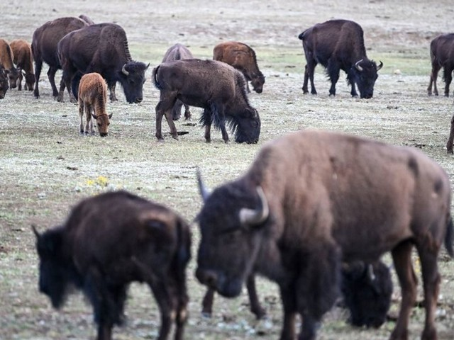 Pour tuer des bisons dans le parc de Grand Canyon, plus de 45.000 personnes se sont proposées en 2 jours