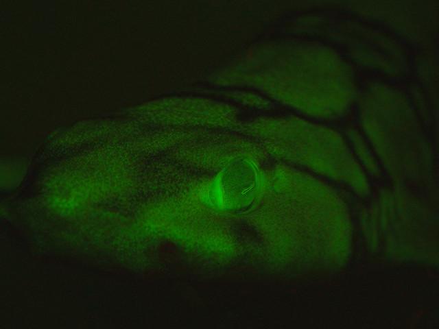 Des chercheurs percent le secret des requins fluorescents