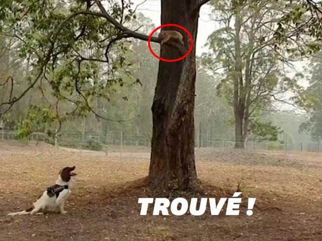 En Australie, cette chienne peut trouver et sauver des koalas