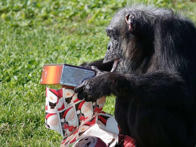 Comment l'Unesco veut sauver les grands singes