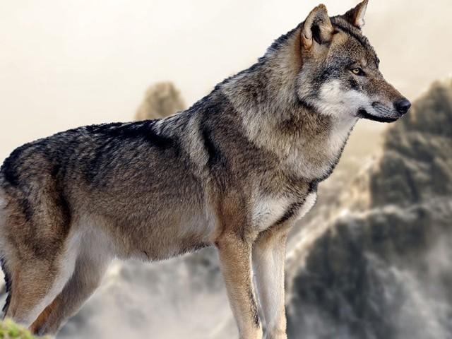 Ce livre fascinant vous dévoile le caractère insoupçonné des loups