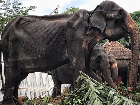 Le corps très amaigri de cet éléphant, forcé de parader au Sri Lanka, suscite l'émoi sur les réseaux sociaux (photos)