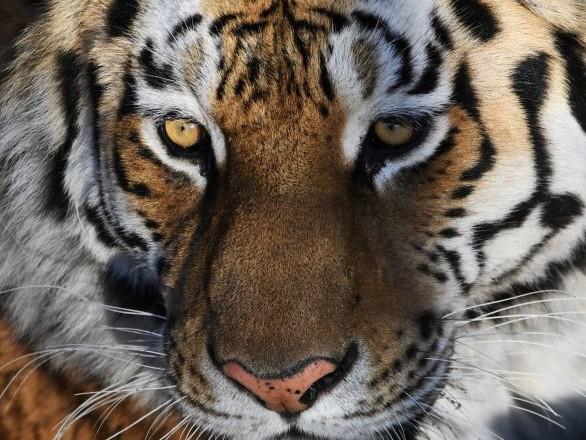 La taille n'a pas d'importance: un tigre et un chat se lient d'amitié en Russie – vidéo