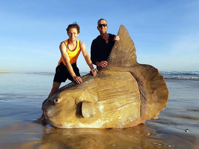 Australie : un poisson-lune géant s'est échoué sur une plage