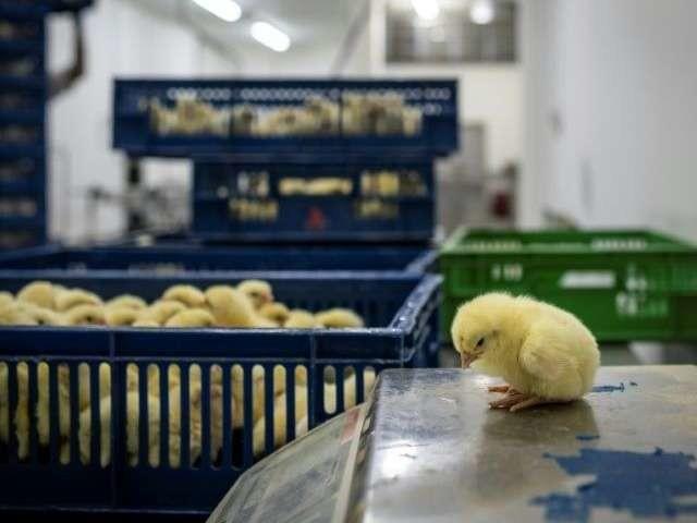 La France veut interdire le broyage des poussins et la castration à vif des porcelets fin 2021