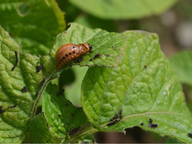 Les attaques d'insectes rendent les fruits et légumes bio meilleurs pour notre santé