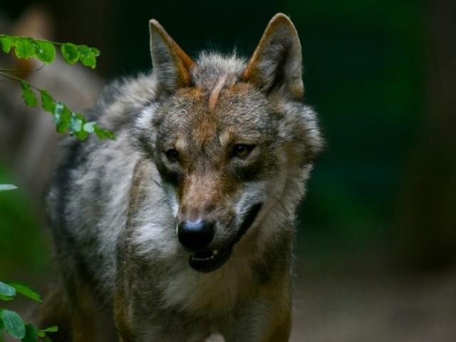 Premier loup de l'année abattu en France, dans les Alpes-de-Haute-Provence