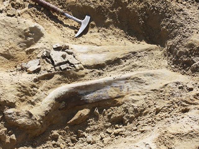 Un fossile de tricératops de 68 millions d'années découvert sur un chantier
