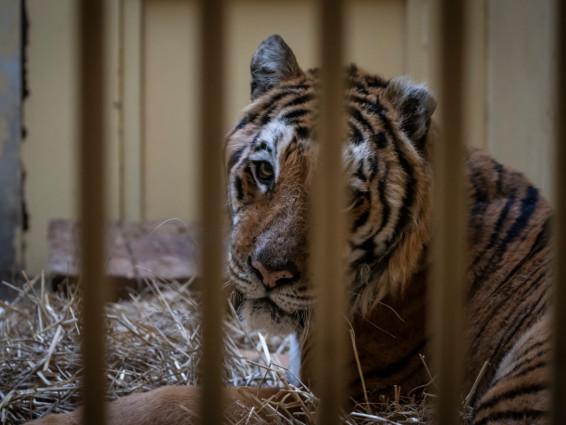 En Pologne, un élan de solidarité pour neuf tigres ayant échappé à la mort
