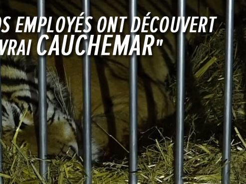 Des tigres avaient échappé à la mort dans un voyage d'HORREUR: ils ont été recueillis en Espagne
