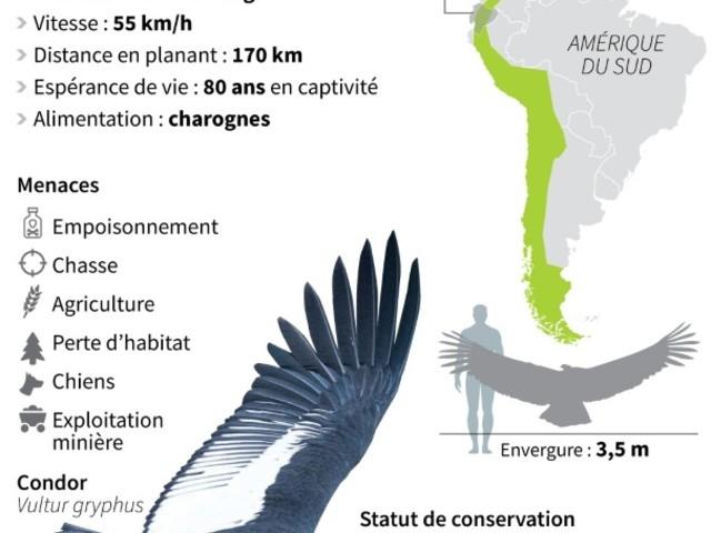 Equateur: un couple de condors ravive les espoirs sur la protection de l'espèce