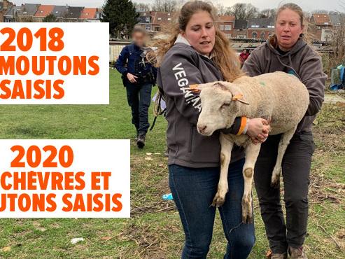 Des chèvres et moutons saisis à Haren: le propriétaire est déjà bien connu de la justice (photos)