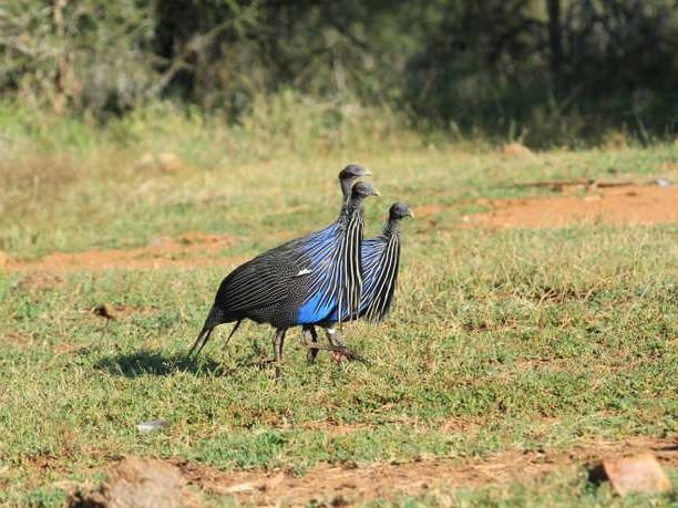 La pintade vulturine fait entrer les oiseaux dans la complexité sociale