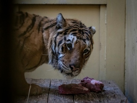 Pologne : cinq tigres rescapés seront accueillis dans un refuge en Espagne