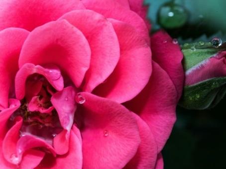 Le curieux destin d'une cellule de rose, ou les biotechnologies à l'appui des cosmétiques