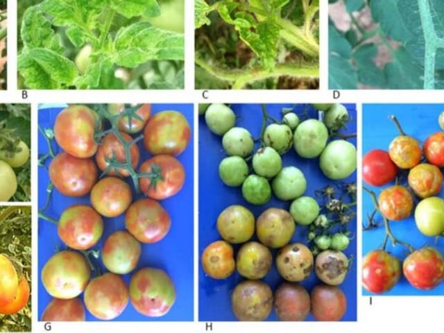 Le virus de la tomate ToBRFV ressemble à cela et voici ses effets
