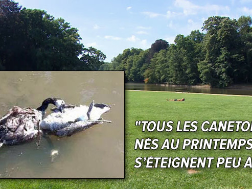 """L'étang du Bois de la Cambre inquiète Philippe: """"Chaque jour je ramasse 2 ou 3 canards morts"""""""