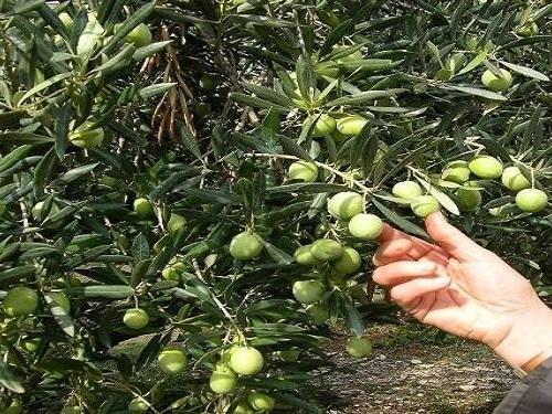 Tunisie :Des agriculteurs protestent à Sfax à cause de la chute des prix de vente des olives
