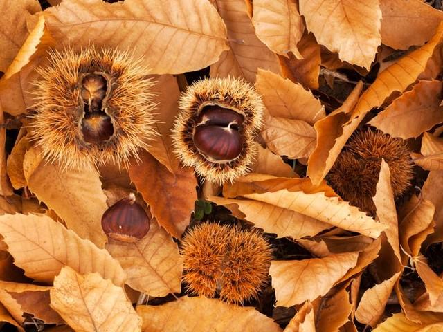 Châtaigne, le délicieux «oursin» de la forêt