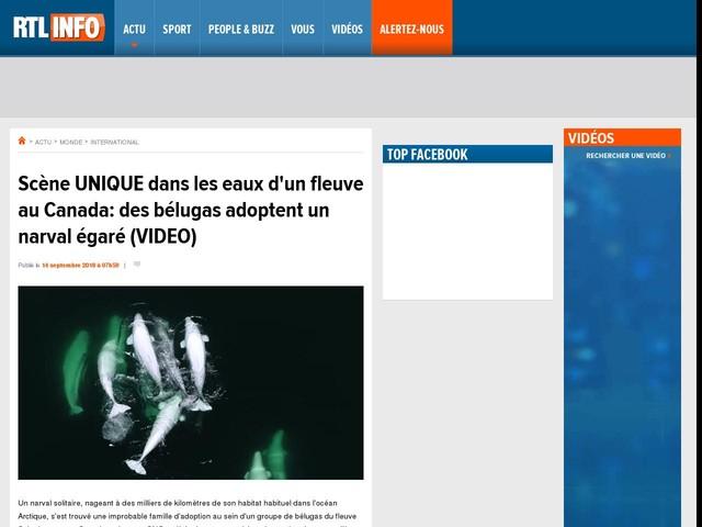 Scène UNIQUE dans les eaux d'un fleuve au Canada: des bélugas adoptent un narval égaré (VIDEO)