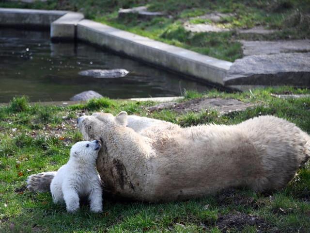 Parc zoologique de Mulhouse: première sortie de l'oursonne polaire Kara