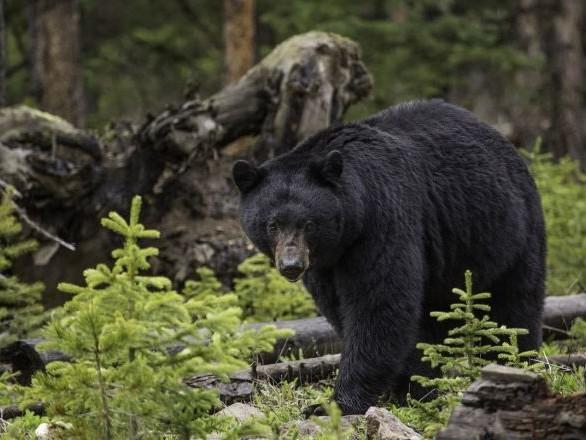 Un ours s'invite au volant d'un vieux camion dans une forêt russe - vidéo