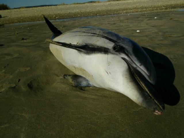 Gironde : de nombreux dauphins s'échouent sur les plages