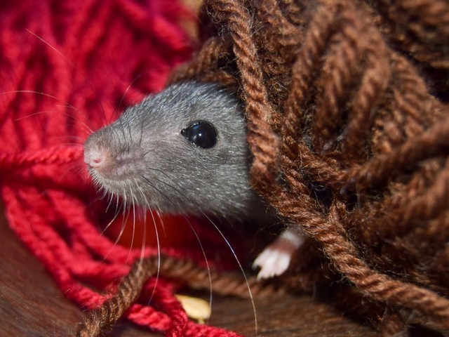 Des scientifiques ont appris à jouer à cache-cache à des rats… et découvert qu'ils adoraient cela