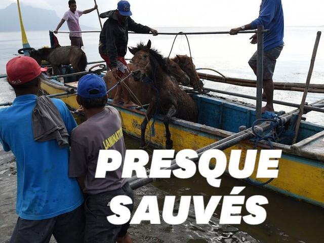 Face au volcan Taal, des habitants ont risqué leur vie pour sauver leurs chevaux