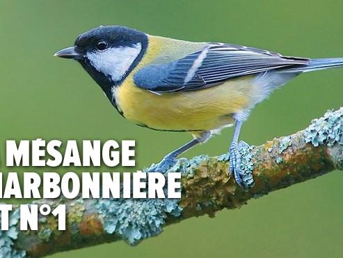 Recensement des oiseaux dans nos jardins: voici le TOP 10 des espèces les plus fréquentes
