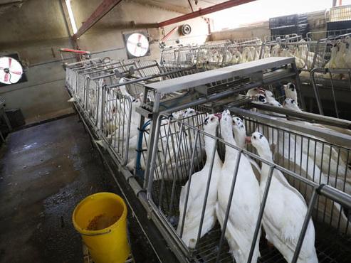 Plus de 180 canards sont morts à la suite de l'action d'Animal Resistance