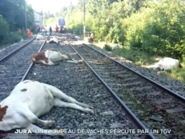VIDÉO - Un TGV percute un troupeau dans le Jura : 20 vaches tuées