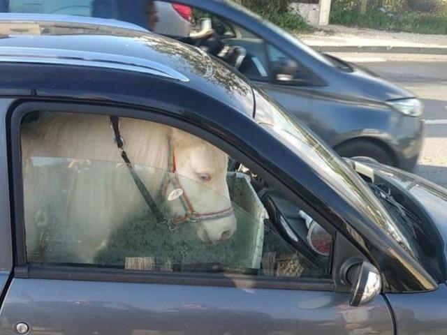 Une dame se fait arrêter dans le sud de la France car elle transportait… un poney sur le siège passager de sa voiture sans permis!
