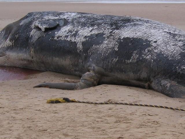 Victime de la bêtise humaine cette baleine est morte avec 40 kg de plastique dans l'estomac