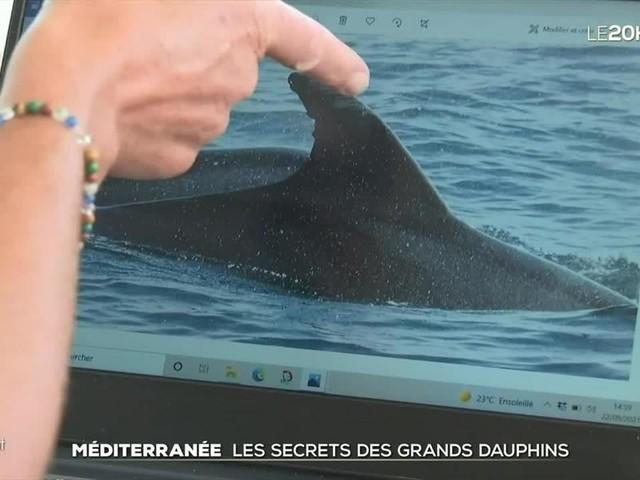 Le grand format : en danger, le grand dauphin sous haute surveillance en Méditerranée