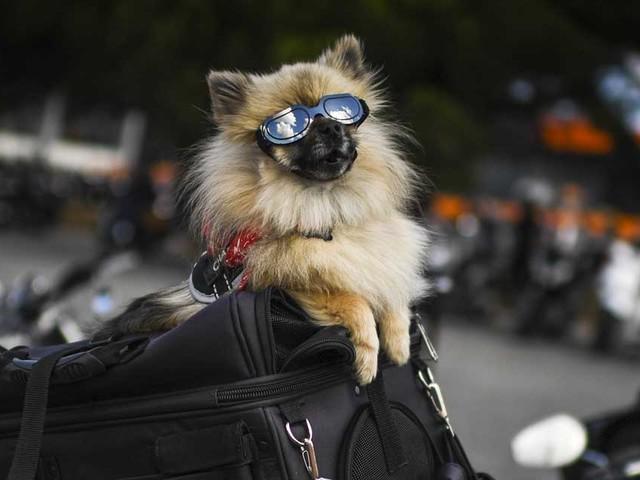 Des chercheurs percent le secret du regard attendrissant du chien