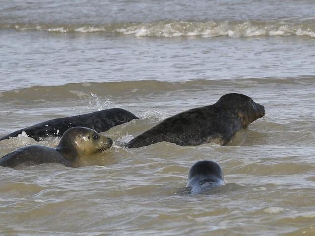 Les derniers phoques malades soignés au Sea Life Blankenberge rendus à la vie sauvage